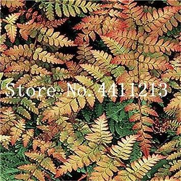 Bloom Green Co. Bonsai 100 Unids Raras Bonsai Colores Mezclados Helecho Plantas de Hierbas Perennes Bonsai Maceta Planta de Interior Para Huerto Fácil Crecer: 9