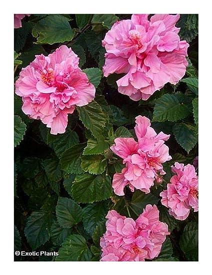 Amazoncom 10 Seeds Hibiscus Mutabilis Confederate Rose Seeds