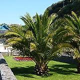 Pair of Hardy Phoenix Palm tres 80-100cm tall
