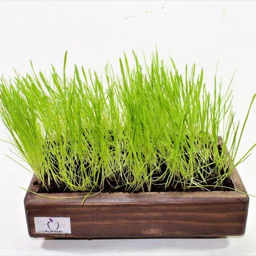 Kit de hierba para gato Wengué