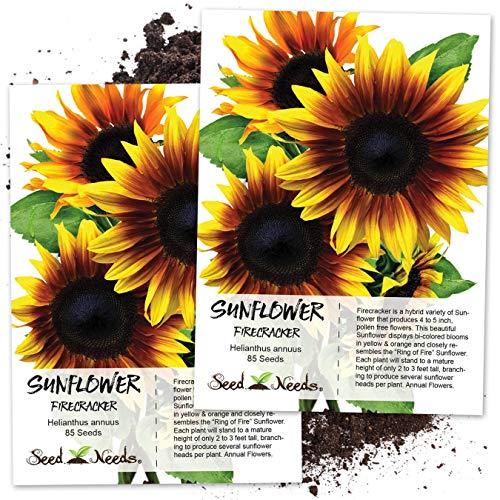 (Seed Needs, Firecracker Sunflower (Helianthus annuus) Twin Pack of 85 Seeds Each)