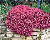 100 Seeds RED ROCK CRESS Aubrieta -Cascade red - FLOWER SEEDS, PERENNIAL,DEER RESISTANT