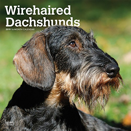Wirehaired Dachshund - Wirehaired Dachshunds 2019 12 x 12 Inch Monthly Square Wall Calendar, Animals Dog Breeds (Multilingual Edition)