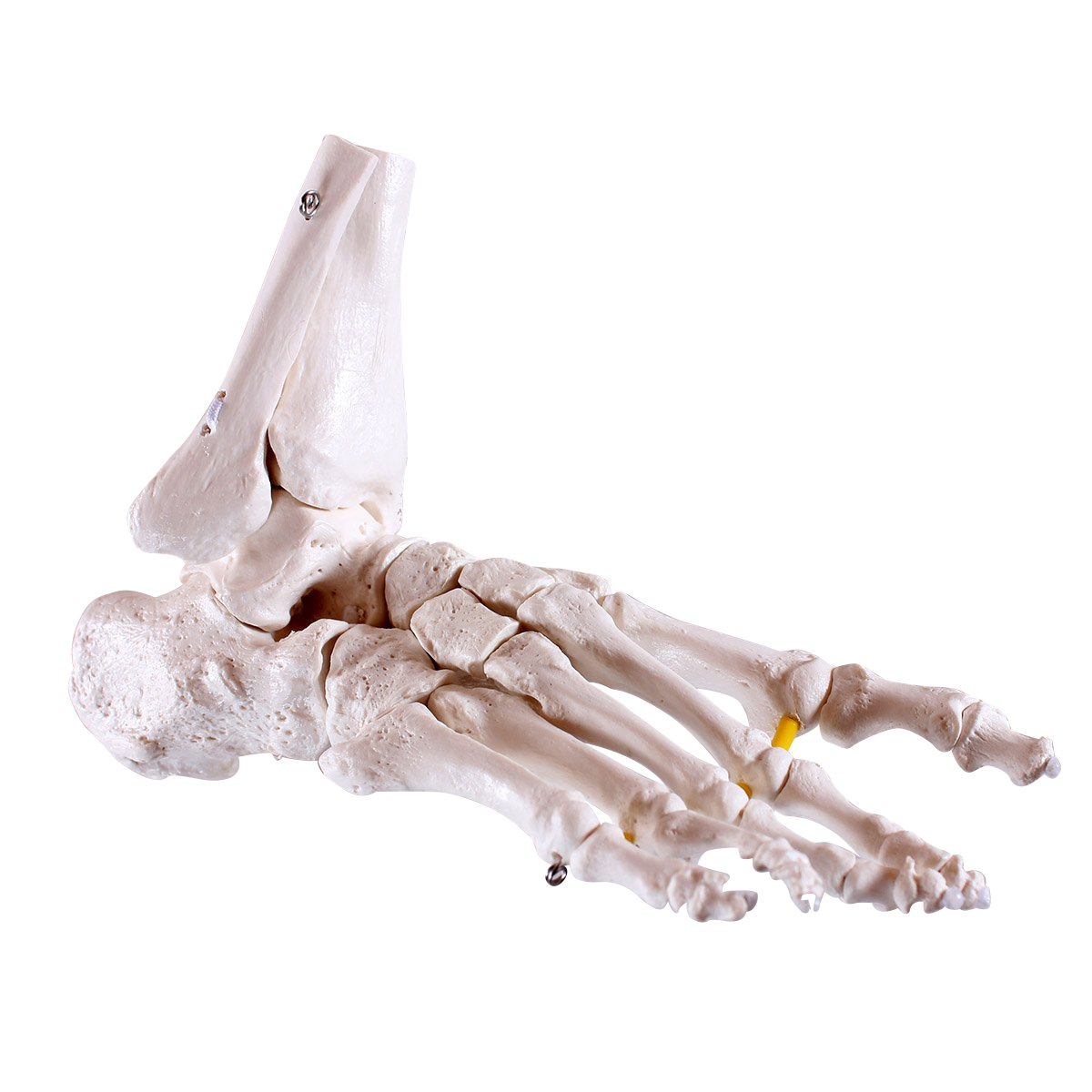 Fuß - Skelett, mit Schien- und Wadenbeinansatz, flexibel: Amazon.de ...