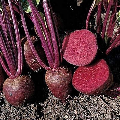 Pablo Baby Hybrid Beet Seeds (50 Seeds) : Garden & Outdoor