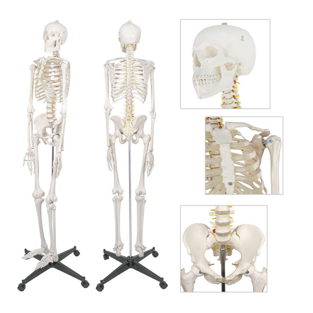 Amazon Modelhuman Skeleton Life Sized Size W Stand Wheels
