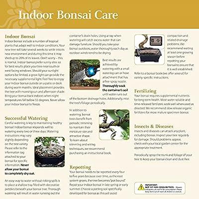 Brussel's Bonsai Live Fukien Tea Indoor Bonsai Tree - 6 Years Old 6