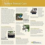 Brussel's Bonsai Live Golden Gate Ficus Indoor