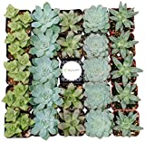 Shop Succulents Blue/Green Succulent (Collection of 100)