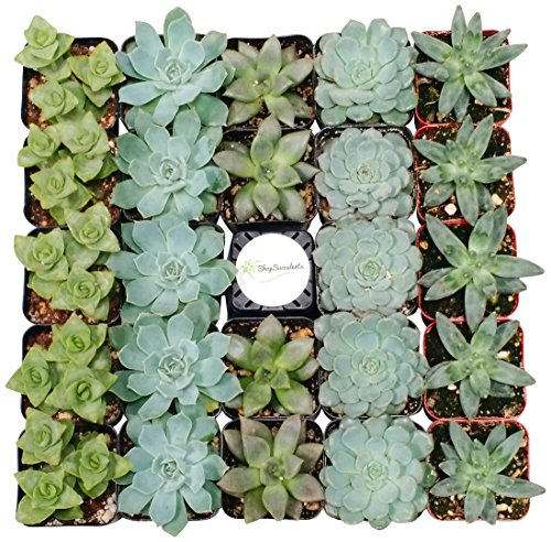 Shop Succulents Blue/Green Succulent (Collection of 100) by Shop Succulents