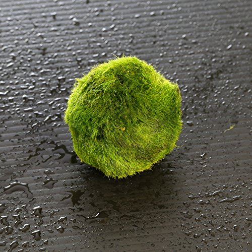 Giant Marimo Moss Balls - Live aquarium tank plants low lightNo pesticides (1.5'' - 2''x 5 +3 free) by Aquarium Live Water Plants