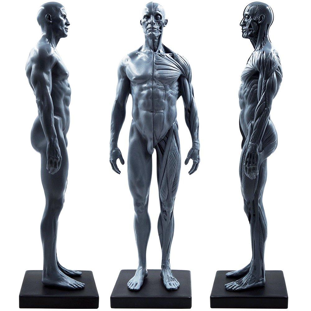 Male Anatomy Figure Ecorche And Skin Model Lab Supplies Modelgray