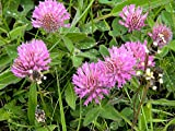 Red Clover Seeds, Nitro-Coated, 1 Pound