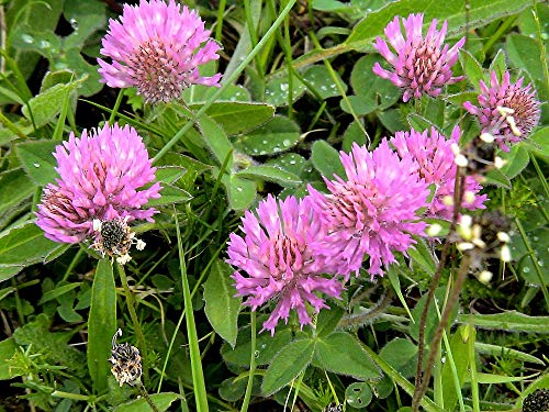 Red Clover Seeds, Nitro-Coated, 1 Pound by SEEDS2GO
