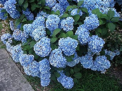 "Nikko Blue Hydrangea - 3 1/2"" Potted Shrub - 6"" - 12"" Tall Healthy Plant - 3 Pack By Growers Solution"