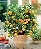 Bonsai Seeds. Cold-hardy Sweet Tangerine mandarin Orange Tree Seeds ( Citrus reticulata )Fruit trees. home bonsai,30seeds/bag