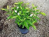 PlantVine Tabernaemontana divaricata 'Pinwheel Jasmine', Pinwheel Jasmine - Large - 8-10 Inch Pot (3 Gallon), Live Plant - 4 Pack