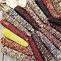 Indian Ornamental Corn Seeds (20 Seed Pack)