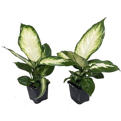"AchmadAnam - 2 Plants in 3"" Pots - Camille Dieffenbachia - Easy to Grow - Very Durable : Garden & Outdoor"