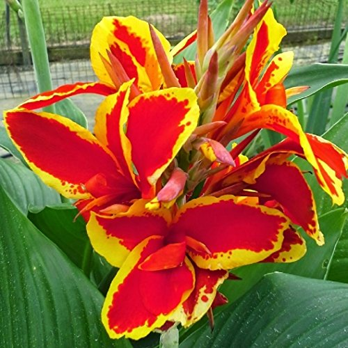Lucifer Canna Lily Root, Beautiful Red & Yellow Flowering Canna Lily Bulb, Plant, Flower, (Canna Lily Bulb)