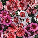 Park Seed Super Parfait Mix Dianthus Seeds