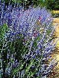Russian Sage Herb Perennial 20 Seeds - Perovskia