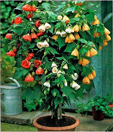 Seeds Abutilon Flowering Maple Indoor Perennial Garden Balcony Hanging Organic -