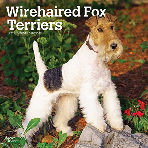 Wirehaired Fox Terriers 2019 12 x 12 Inch Monthly Square Wall Calendar, Animals Dog Breeds Terriers