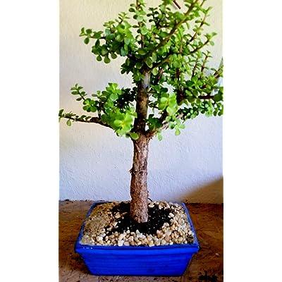 Indoorbonsaiandexotics Large Baby Jade Bonsai Tree for Beginner: Kitchen & Dining