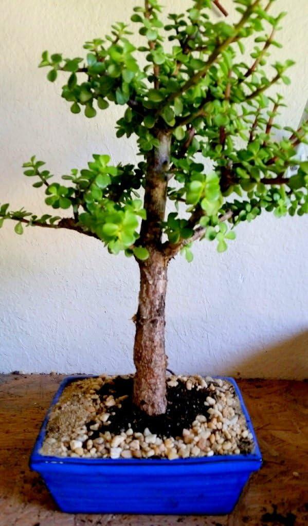 Amazon Com Indoorbonsaiandexotics Large Baby Jade Bonsai Tree For Beginner Kitchen Dining
