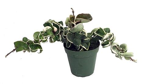Amazoncom Variegated Hindu Rope Plant Hoya Carnosa Variegata