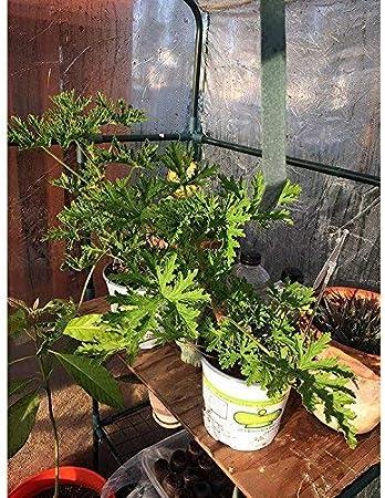 Yunhigh cubierta de plástico mini invernadero de interior para planta en maceta, como tomate fresa: Amazon.es: Hogar