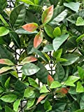 Porpora Artificial Hedge Plant, Greenery Panels Suitable for Both Outdoor or Indoor use, Garden, Backyard and/or Home Decorations, European Laurel 20 x 20 Inch (12 pack) by e-Joy