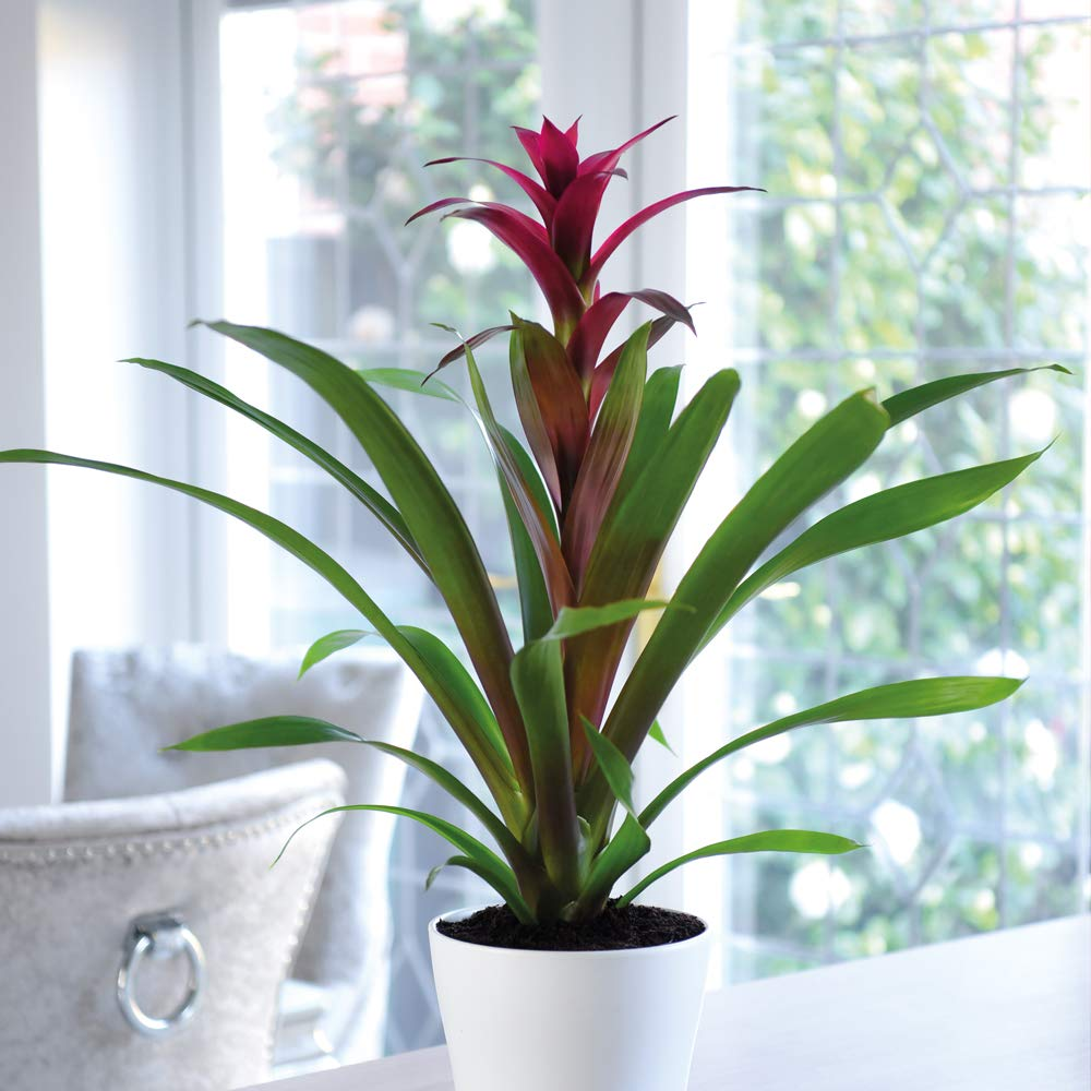 Bromeliad Exotic House Plant Easy to Grow for Home & Office with Long Lasting Pink Tropical Flowers, 1 x Bromeliad Pink Plant in a 9cm Pot by Thompson and Morgan THOMPSON & MORGAN