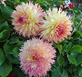 1 Root Dahlia Tubers~Myrtle's Folly~Giant Fuzzy Wuzzy Semi-Cactus Flowers Lg.Bulb Plant