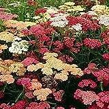 Yarrow (Achillea Millefolium)- Summer Berries Mix- 50 Seeds