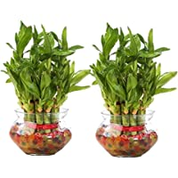 Leafy Tales Lucky Bamboo with Bowl with 7 Color Jelly Ball/Crystal Free
