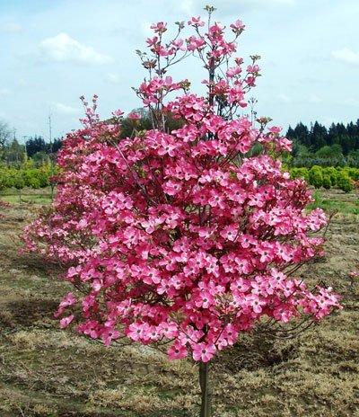Red Dogwood Tree