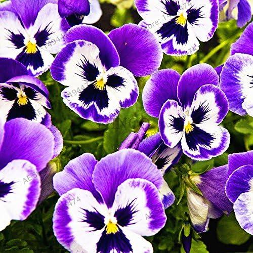 50pcs / bag Violeta Semillas plantas del jardín de las semillas de flor violeta, semilla de hierba perenne matthiola Incana para el hogar y el jardín 1: Amazon.es: Jardín