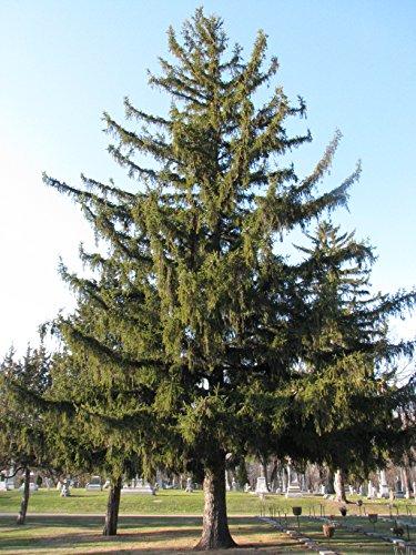 Spruce Tree Needles - 8