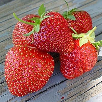 25 Jewel Strawberry Plants - Organic : Garden & Outdoor