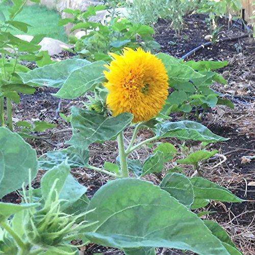 Teddy Bear Sunflowers - Sunflower Flower Garden Seeds - Teddy Bear - 1 Oz - Annual Wildflower Gardening Seeds - Mountain Valley Seeds