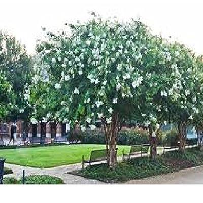 9 Pack Natchez (White) Crape Myrtle Trees : Garden & Outdoor