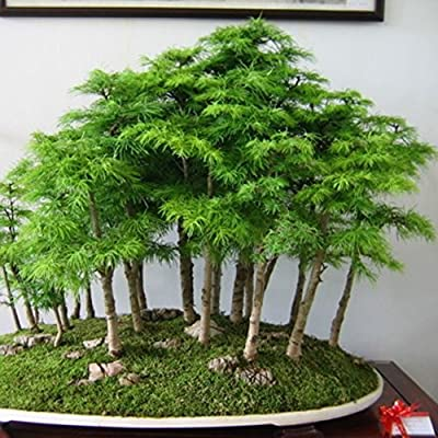 Move on Flower Seeds 50Pcs Mini Fir Tree Seeds Perennial Bonsai Home Garden Yard Balcony Green Decor - Fir Tree Seeds