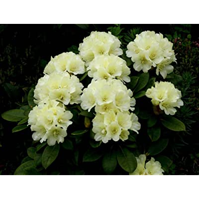 Rhododendron Lemon Dream #2 Container Size Plant - Soft Yellow Blooms! : Garden & Outdoor