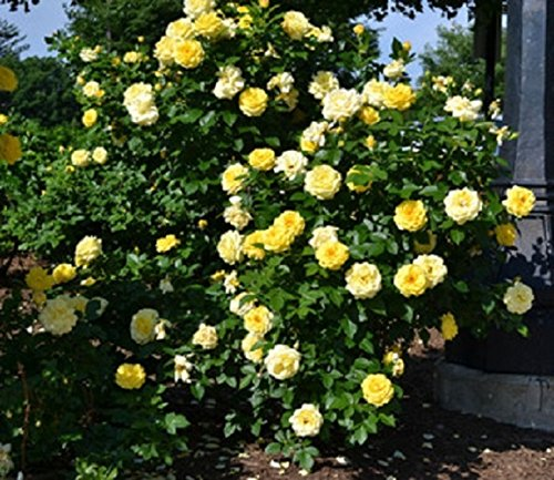 Amazing Plants High Voltage Yellow Easy Elegance Rose, Trade Gallon Pot