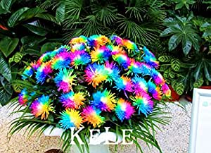 New Arrival 2015!! Real Seeds 20 Seeds/pack Rainbow Chrysanthemum Flower Seeds, rare color flower plant For Garden Home