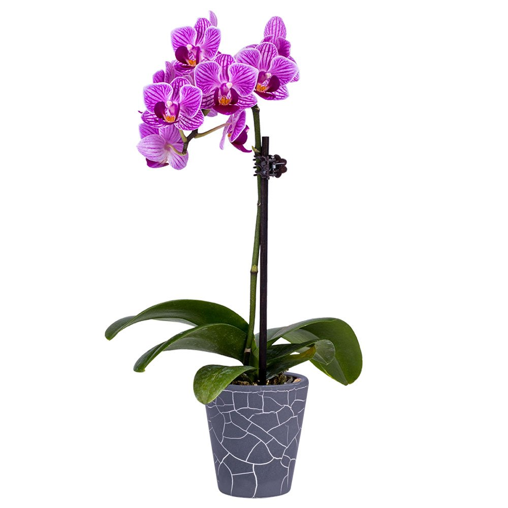 DecoBlooms Living Orchid Flower Plant