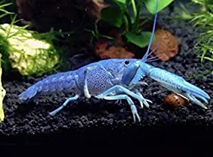 Polar Bear's Pet Shop New! Electric Blue Crayfish crawdad Crawfish Lobster