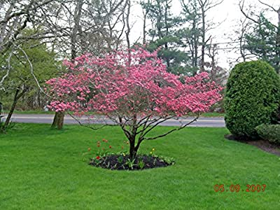 *EXOTIC*10 PINK DOGWOOD TREE SEEDS* SHOWY*rare* #1193A